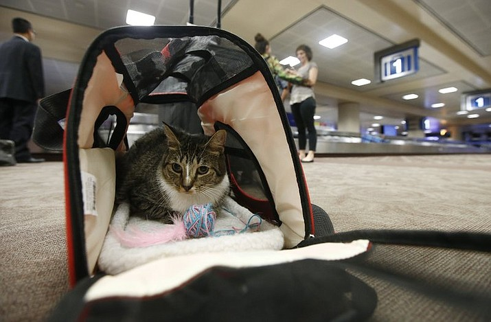 In this Sept. 20, 2017, file photo Oscar the cat, who is not a service animal, sits in his carry on travel bag after arriving at Phoenix Sky Harbor International Airport in Phoenix. Industry officials believe many that hundreds of thousands of passengers scam the system each year by claiming they need their pet for emotional support. Those people avoid airline pet fees, which Oscar's owners paid. (AP Photo/Ross D. Franklin, File)