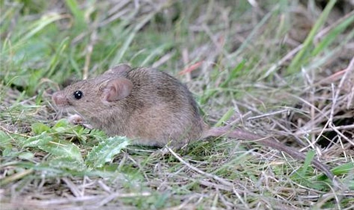 Adult house mouse (Mus musculus). (Jack Kelly Clark, University of California/Courtesy)