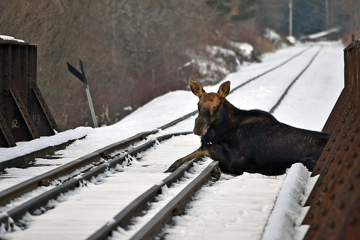 This Wednesday, Jan. 22, 2020 photo provided by the Vermont Fish and Wildlife Department shows a moose on railroad tracks in Ludlow, Vt. A moose that was stuck on an active railroad bridge in Vermont was removed and relocated with minimal injuries, according to state fish and wildlife officials. Local game wardens and wildlife biologists, with assistance from the Springfield Fire Department and a crew from the Vermont Rail System, sedated the moose and picked it up with a railroad crane truck. (Warden Kyle Isherwood/Vermont Fish and Wildlife Department via AP)