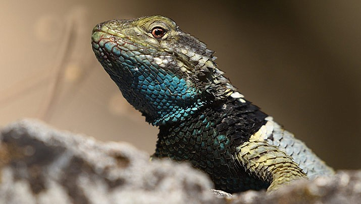 """The fourth class of this series will be presented by Julio Rivera, ASU who will discuss """"Communication and evolution of Sceloporus lizards in North America"""" at Highlands Center for Natural History from 9 a.m. to 12 p.m. on Thursday, Jan. 30."""