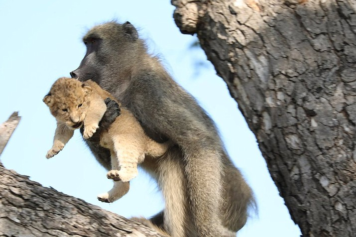 In this photo taken Saturday, Feb. 1, 2020, a male baboon carries a lion cub in a tree in the Kruger National Park, South Africa. The baboon took the little cub into the tree and preened it as if it were his own, said safari ranger Kurt Schultz who said in 20-years he had never seen such behavior. The fate of the lion cub is unknown. (Photo Kurt Schultz via AP)