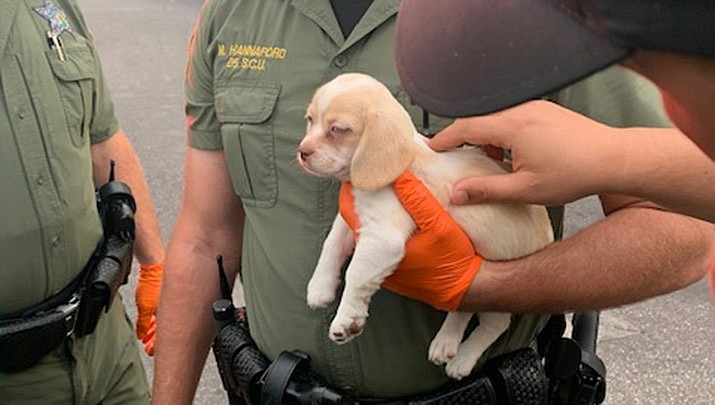 """A sheriff's office Facebook post shows an officer holding a small puppy saying deputies took care of the """"cutest accomplice"""" before handing him over to Hillsborough County Animal Services. (Hillsborough County Sheriff's Office, Facebook)"""