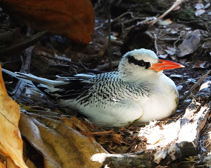 Pictured is a red-billed tropicbird. (David Norcross/Courtesy)