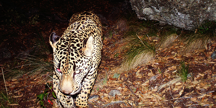 An endangered jaguar, nicknamed El Jefe, captured by a remote camera in southeastern Arizona. Advocates – and now a court – say it is one of several endangered species that could be harmed by the proposed Rosemont Copper Mine. (Photo courted Conservation CATalyst and Center for Biological Diversity)