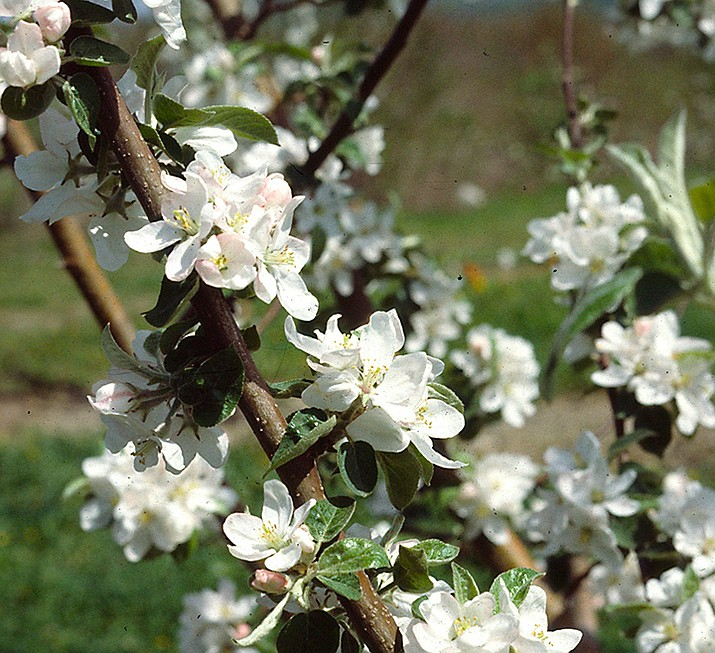"""This undated photo shows apple blossoms in New Paltz, N.Y. Warm, spring temperatures can coax a spectacular show of apple blossoms only after the trees have put about 1000 accumulated hours of cool, not frigid, temperatures into their chilling """"bank"""" for the winter. (Lee Reich via AP)"""