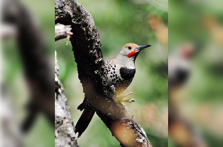 At 6 p.m. Wednesday, Feb. 26 at the Sedona Public Library, learn how gilded and red-shafted flickers respond to their own voice. Courtesy photo
