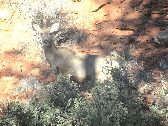 A mule deer rests in the shade along a trail at Red Rock State Park near Sedona. (Stan Bindell/NHO)