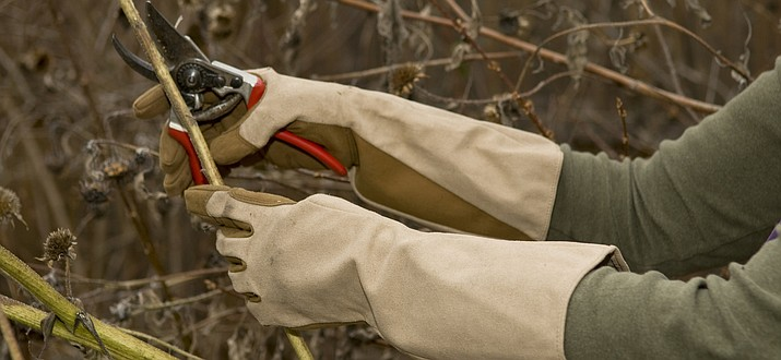 When pruning, start by removing the damaged and diseased stems of shrubs and roses and wear heavy duty gloves to keep yourself free from scratches. (Foxglovesinc.com/Courtesy)