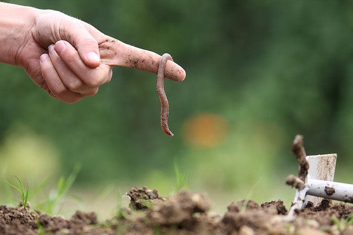 If you have earthworms, the chances are you also have all of the beneficial microbes and bacteria that make for healthy soil and vigorous plants. (Courier stock photo)