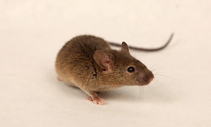 """""""House mouse, Mus musculus."""" (Ed Freytag, City of New Orleans, Bugwood.org)"""