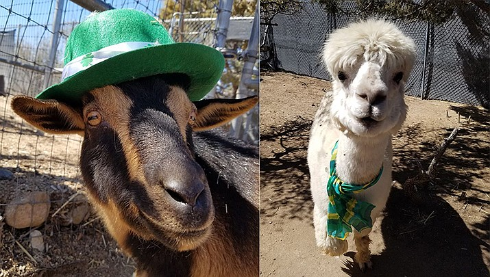 To celebrate St. Patty's Day, anyone who wears visible green on Tuesday, March 17 will get 50% off admission at the Heritage Park Zoo, 1403 Heritage Park Rd. in Prescott. (Heritage Park Zoological Sanctuary)