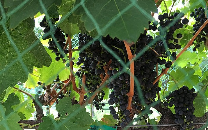 Grapes on the vine in a 2016 file photo from Page Springs Vineyards, one of the members of the Verde Valley Wine Consortium that is seeking to make part of Yavapai County a federally designated American Viticultural Area. (Photo by Mindy Riesenberg/Cronkite News)