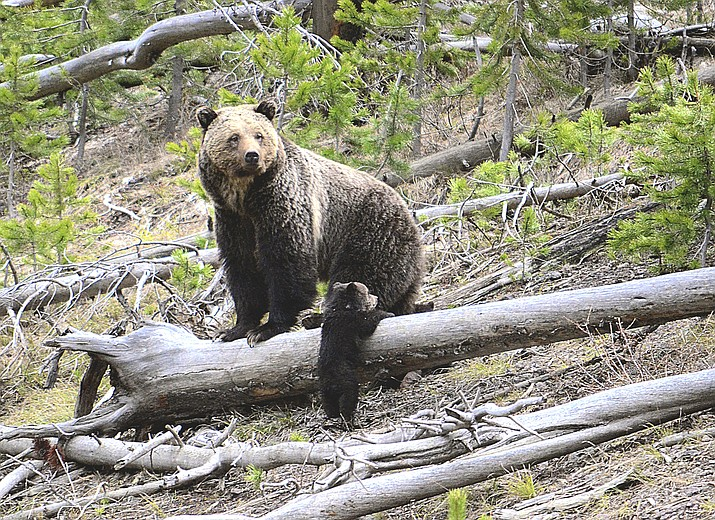 This April 29, 2019 file photo provided by the United States Geological Survey shows a grizzly bear and a cub along the Gibbon River in Yellowstone National Park, Wyoming. (Frank van Manen/The United States Geological Survey via AP, File)