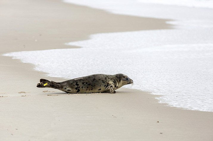 In this Tuesday, March 17, 2020 photo provided by The National Aquarium, a harp seal named Amelia Bedelia makes its way to the ocean in Salisbury, Md., after it was released following rehabilitation at the aquarium in Baltimore. The seal was rescued from Ocean City, Md., by the Aquarium's Animal Rescue team after severe dehydration. (Theresa Keil/The National Aquarium via AP)