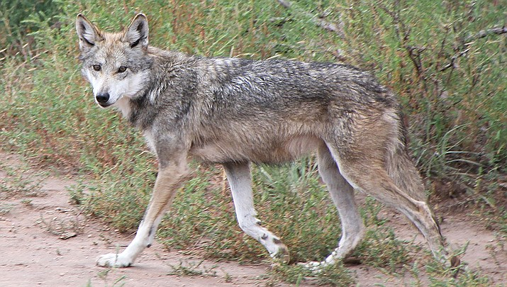 The population of endangered Mexican gray wolves in the U.S. has increased to 163, with 76 of the animals in Arizona. (Photo by Tony Hisgett, cc-by-sa-2.0, https://bit.ly/2WAsQMb)