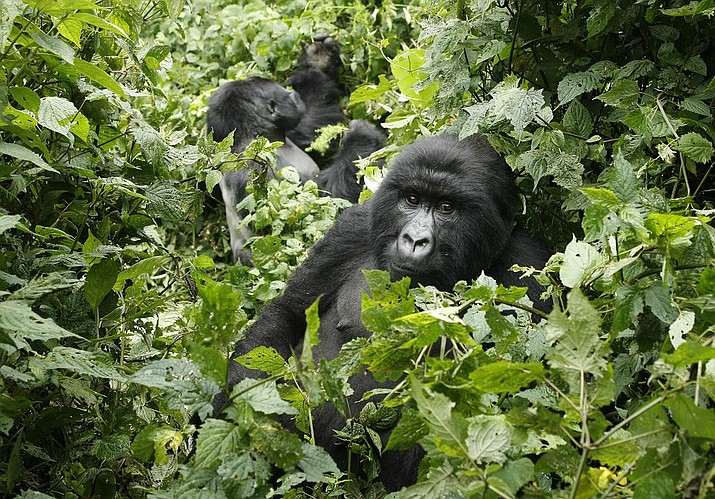 """In this file photo taken Tuesday Nov. 25, 2008, two mountain gorillas are seen in the Virunga National Park in eastern Congo. Congo's Virunga National Park, home to about a third of the world's mountain gorillas, has barred visitors until June 1, 2020, citing """"advice from scientific experts indicating that primates, including mountain gorillas, are likely susceptible to complications arising from the COVID-19 virus.""""(AP Photo/Jerome Delay-File)"""