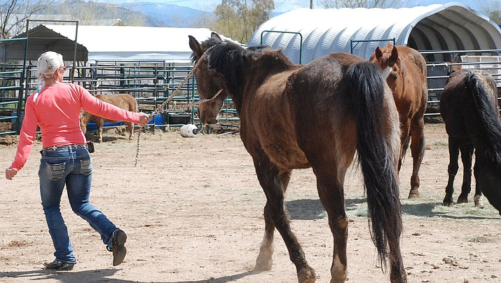 As of March 21, nine of the 10 horses had been adopted to new homes within the county. The last horse is still under veterinary care and is not yet available for adoption. (Photo courtesy of Roseanne Brown)
