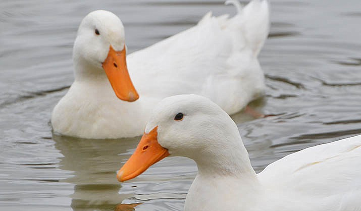 Friendly frolickers frequently found by the pond are one of the many attractive features of the Verde Villages. Newly elected president Patti Greeneltch said making the Verde Village Property Owners Association more financially solvent is a top priority. VVN/Vyto Starinskas