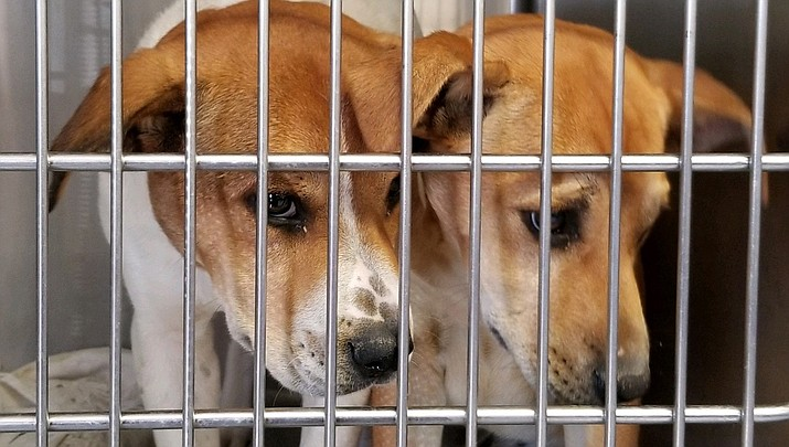 Overcrowded kennels create a multitude of problems for the Mohave County Animal Shelter, says Nicole Mangiameli, shelter manager. With too many animals to care for, dogs are having to share kennels. (Friends of the Mohave County Animal Shelter courtesy photo)