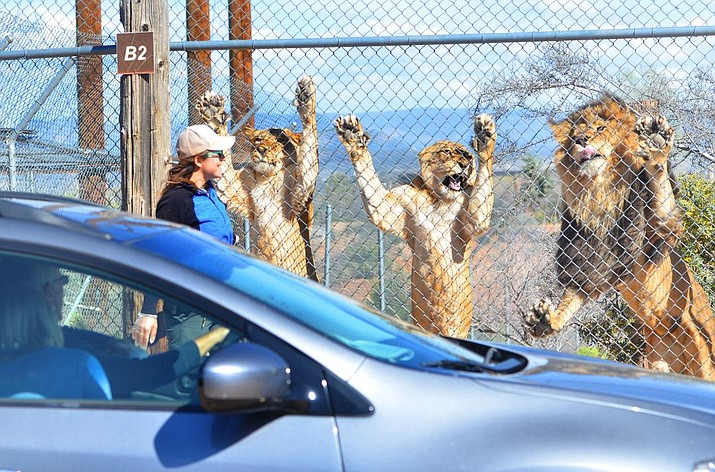 Out of Africa Wildlife Park now offers drive-thru animal viewing instead of a walk-thru experience. VVN/Vyto Starinskas