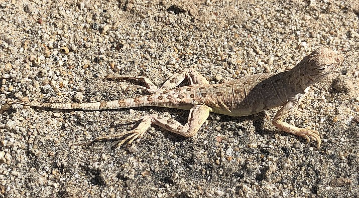 Here is a Zebra-tailed  lizard seen at Date Creek Ranch this past Saturday as I was out birdwatching. (Eric Moore/Courtesy)