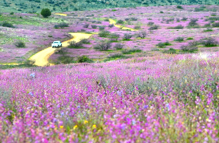 Wildflowers are growing along Sycamore Canyon Road on Sunday. VVN/Vyto Starinskas