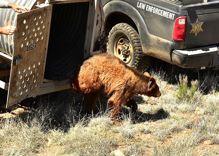 Three bear cubs rescued last April after their mother was hit and killed by a vehicle near Oracle, Arizona, were released back into the wild last week in a remote area in central Arizona. (Photo/AZGFD)