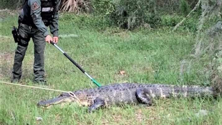 """The Manatee County Sheriff's Office in Florida warned motorists that it's that time of year when alligators """"fall in love"""" but might not always be so affectionate. A male gator measuring 9 feet, 2 inches had to be removed from a roadway after it was spotted """"being aggressive with traffic."""" (Manatee County Sheriff's Office)"""