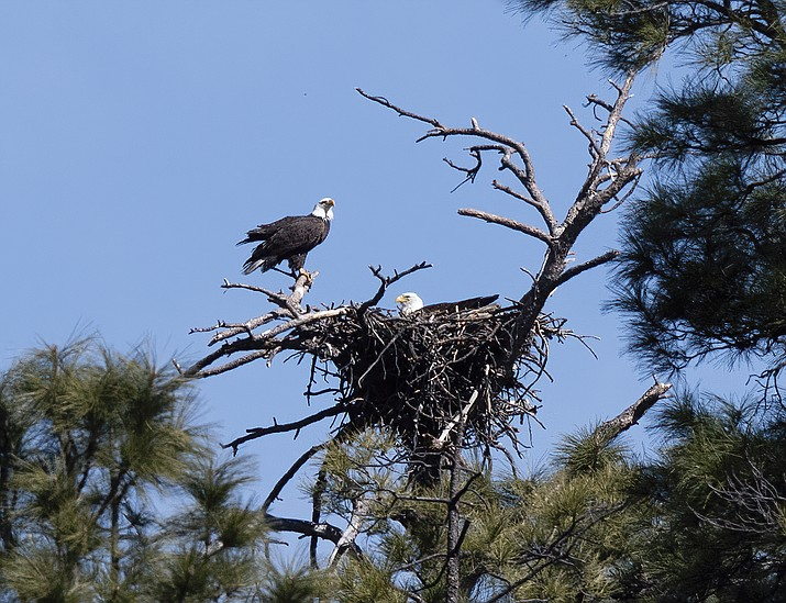 Bald Eagles are seen in their nest near Lynx Lake in this February 2020 image. (Dagny Gromer/Courtesy, file)