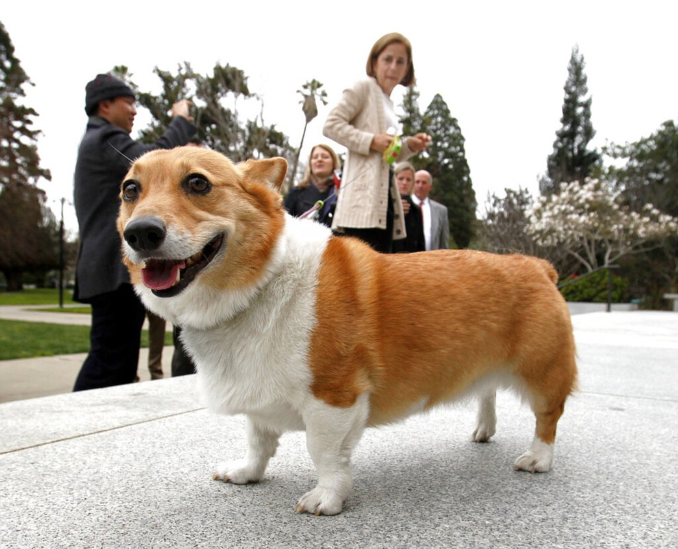 FILE - In this Feb. 15, 2011 file photo, Sutter, a Pembroke Welsh corgi belonging to California Gov. Jerry Brown, and California first lady Anne Gust Brown, background, walks around the east steps of the Capitol in Sacramento, Calif. America's dogs are having their day as the coronavirus keeps many people at home more with their pets and is spurring so much adoption and fostering that some shelters' kennels have emptied. But while much is changing for people and pooches around the U.S., there's at least one thing holding as steady as a dog with a favorite toy. (AP Photo/Rich Pedroncelli, File)