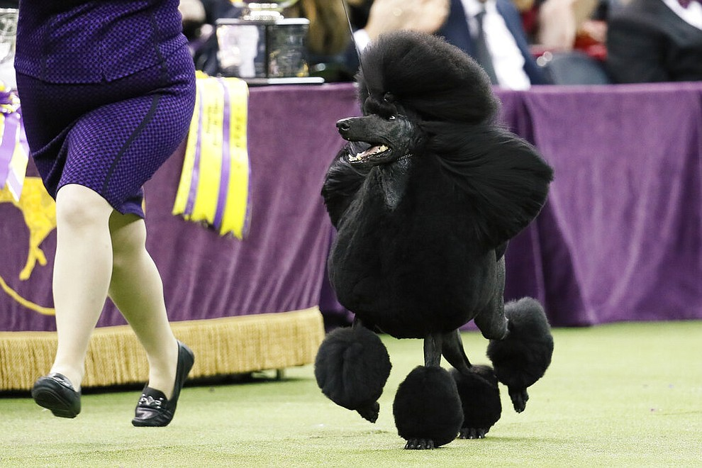 FILE- In this Feb. 11, 2020 file photo, a standard poodle named Siba, competes for Best in Show during the 144th Westminster Kennel Club dog show in New York. America's dogs are having their day as the coronavirus keeps many people at home more with their pets and is spurring so much adoption and fostering that some shelters' kennels have emptied.     (AP Photo/John Minchillo, File)