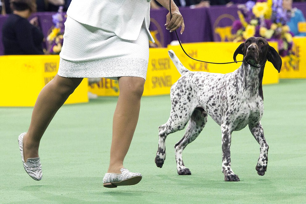 FILE- In this Feb. 16, 2016 file photo, C.J., a German shorthaired pointer, is shown in the ring during the sporting group competition at the 140th Westminster Kennel Club dog show in New York. C.J. won best in Sporting group. The American Kennel Club says that German shorthaired pointer's are the ninth most popular dog breed of 2019. (AP Photo/Mary Altaffer, File)