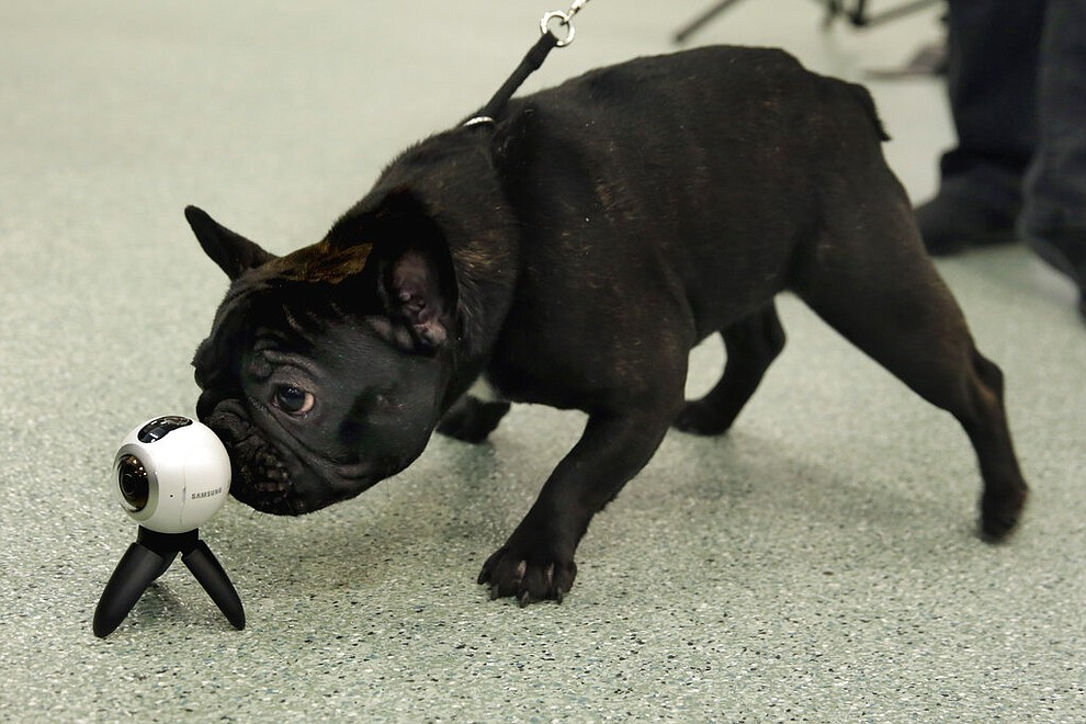 FILE- In this March 21, 2017 file photo a French bulldog named Violet inspects a virtual reality camera in New York. America's dogs are having their day as the coronavirus keeps many people at home more with their pets and is spurring so much adoption and fostering that some shelters' kennels have emptied.    (AP Photo/Richard Drew, File)