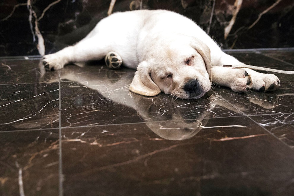FILE- In this March 28, 2018, file photo, Harbor, an 8-week old Labrador retriever, takes a nap during a news conference at the American Kennel Club headquarters in New York. America's dogs are having their day as the coronavirus keeps many people at home more with their pets and is spurring so much adoption and fostering that some shelters' kennels have emptied.  (AP Photo/Mary Altaffer, File)