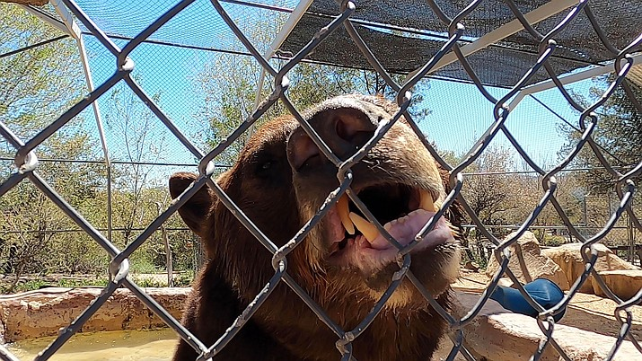 Gus, a black bear, says hello through the fence at Heritage Park Zoo on Friday, April 24, 2020. (Jesse Bertel/Courier)