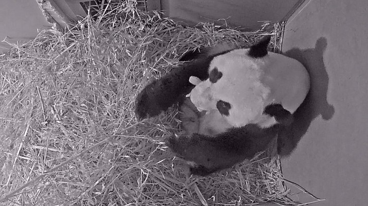 """In this Friday, May 1, 2020 grab taken from webcam footage, provided by Ouwehands Zoo, giant panda Wu Wen holds her newly born cub, at Ouwehands Zoo, in Rhenen, Netherlands, A giant panda loaned by China to a Dutch zoo as part of a breeding pair has given birth to a cub, the zoo announced Saturday, May 2, 2020. The mother, Wu Wen, and her cub """"are staying in the maternity den and are doing well,"""" Ouwehands Zoo said in a statement. (Ouwehands Zoo/via AP)"""