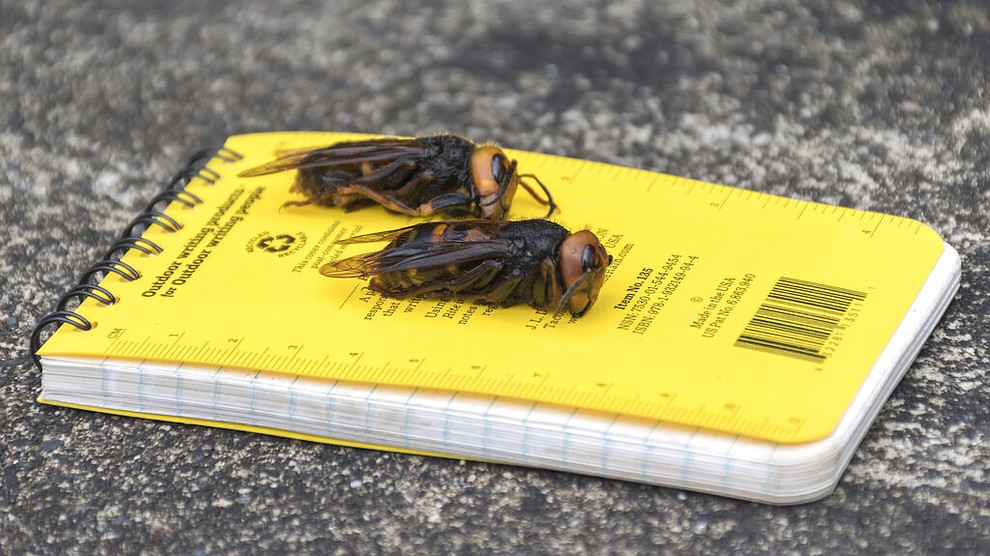 """In this April 23, 2020, photo provided by the Washington State Department of Agriculture, dead Asian giant hornets sit on a researcher's field notebook in Blaine, Wash. The world's largest hornet, a 2-inch long killer with an appetite for honey bees, has been found in Washington state and entomologists are making plans to wipe it out. Dubbed the """"Murder Hornet"""" by some, the Asian giant hornet has a sting that could be fatal to some humans. It is just now starting to emerge from hibernation. (Karla Salp/Washington State Department of Agriculture via AP)"""