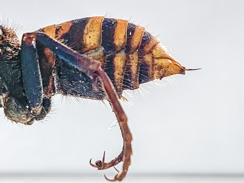 """In this Dec. 30, 2019, photo provided by the Washington State Department of Agriculture, the stinger of a dead Asian giant hornet is photographed in a lab in Olympia, Wash. The world's largest hornet, a 2-inch long killer with an appetite for honey bees, has been found in Washington state and entomologists are making plans to wipe it out. Dubbed the """"Murder Hornet"""" by some, the Asian giant hornet has a sting that could be fatal to some humans. It is just now starting to emerge from hibernation. (Karla Salp/Washington State Department of Agriculture via AP)"""