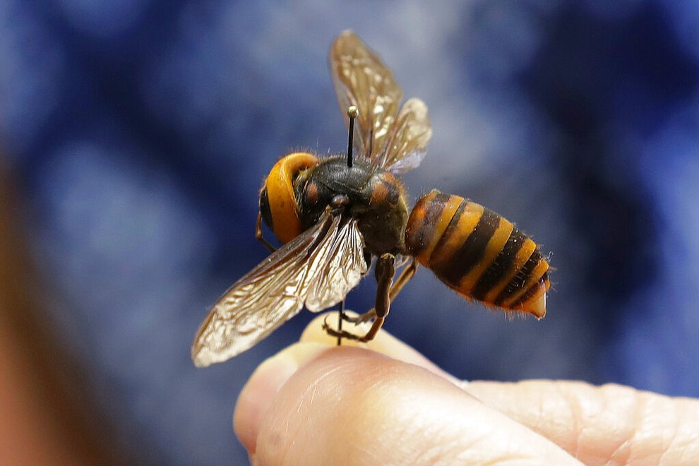 """A dead Asian giant hornet sent from Japan is held on a pin by Sven Spichiger, an entomologist with the Washington State Department of Agriculture, Monday, May 4, 2020, in Olympia, Wash. The insect, which has been found in Washington state, is the world's largest hornet, and has been dubbed the """"Murder Hornet"""" in reference to its appetite for honey bees, and a sting that can be fatal to some people. (AP Photo/Ted S. Warren)"""