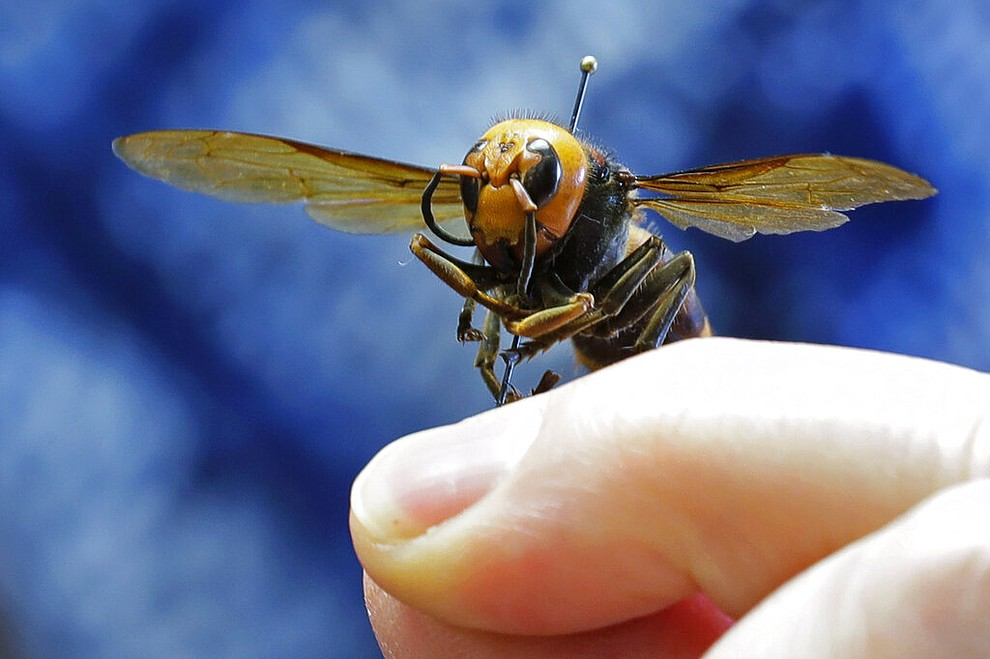 """An Asian giant hornet from Japan is held on a pin by Sven Spichiger, an entomologist with the Washington state Dept. of Agriculture, Monday, May 4, 2020, in Olympia, Wash. The insect, which has been found in Washington state, is the world's largest hornet, and has been dubbed the """"Murder Hornet"""" in reference to its appetite for honey bees, and a sting that can be fatal to some people. (AP Photo/Ted S. Warren)"""
