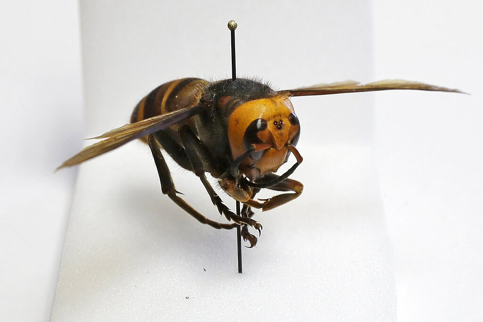 """An Asian giant hornet from Japan is displayed on a pin at the Washington state Department of Agriculture, Monday, May 4, 2020, in Olympia, Wash. The insect, which has been found in Washington state, is the world's largest hornet, and has been dubbed the """"Murder Hornet"""" in reference to its appetite for honey bees, and a sting that can be fatal to some people. (AP Photo/Ted S. Warren)"""
