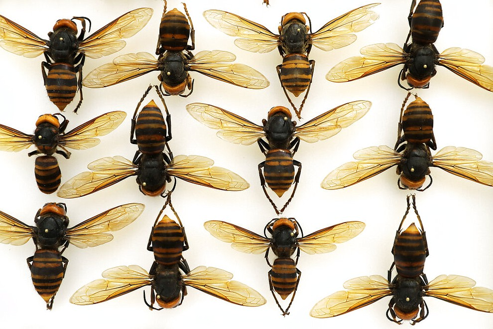 """Asian giant hornets from Japan are shown in a display case at the Washington state Department of Agriculture, Monday, May 4, 2020, in Olympia, Wash. The insect, which has been found in Washington state, is the world's largest hornet, and has been dubbed the """"Murder Hornet"""" in reference to its appetite for honey bees, and a sting that can be fatal to some people. (AP Photo/Ted S. Warren)"""