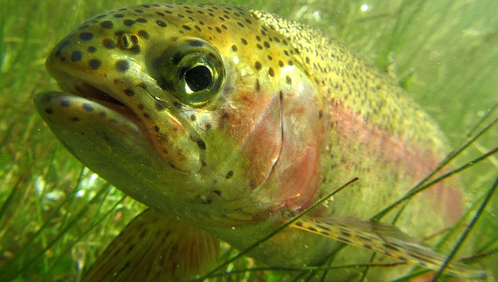 Rainbow trout are one of the species keeping anglers occupied during the coronavirus pandemic. (U.S. Fish and Wildlife Service photo/Public domain)