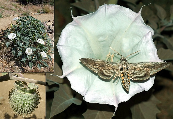 Sacred Datura (Datura wrightii) photos showing entire plant (upper left, Sue Smith, https://cals.arizona.edu/yavapaiplants, University of Arizona); seed pod or fruit (lower left, Sue Smith, https://cals.arizona.edu/yavapaiplants, University of Arizona); and hawkmoth visiting flower. (Mike Lewinski from Tres Piedras, NM, United States / CC by https://creativecommons.org/licenses/by/2.0)