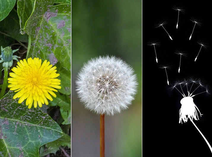 """The dandelion is the only """"flower"""" that represents the sun, moon and stars? (Courier illustration)"""