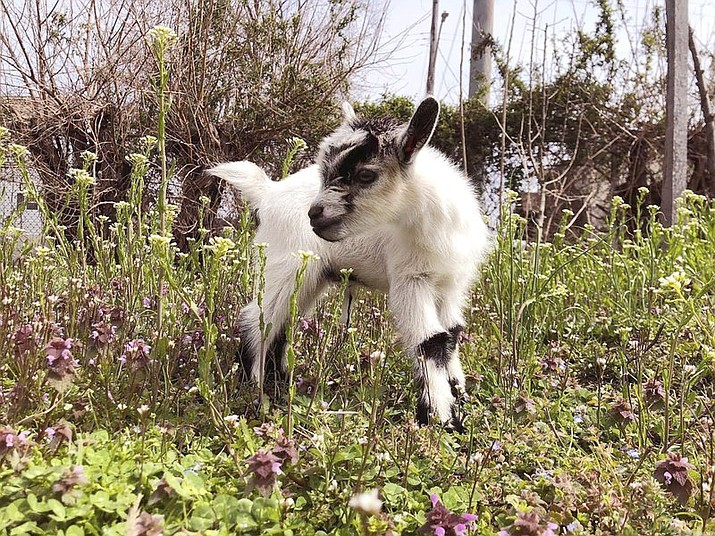 """In this March 19, 2020, photo provided by Henry Scott, shows Ed the baby goat at Filbert Street Garden in Baltimore. Police in Baltimore say the baby goat stolen from a community garden is back home and unharmed. Police said officers were notified Tuesday, May 19, 2020 that the young Nigerian Dwarf goat named Ed had been """"anonymously returned"""" to his owners (Courtesy of Henry Scott via AP)"""