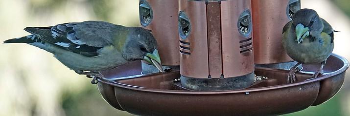 Two grosbeaks at a bird feeder in Prescott. (Eric Moore/Courtesy)