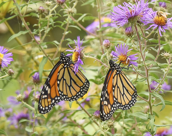 """This undated photo provided by Timber Press shows monarch butterflies in the University of Delaware Botanical Garden in Newark, Del., and is featured in the Douglas Tallamy book """"Nature's Best Hope: A New Approach to Conservation that Starts in Your Yard."""" Tallamy, a professor at the University of Delaware, is urging everyone _ homeowners and renters, in cities, suburbs and rural areas _ to pitch in. The wildlife ecologist and author doesn't just want you to embrace native plants in your yard or on your patio, he wants everyone to see their patches of land as part of a giant quilt. A """"Homegrown National Park.'' Tallamy says a massive project like that can go a long way toward nurturing and protecting birds and pollinators. (Douglas Tallamy/Timber Press via AP)"""