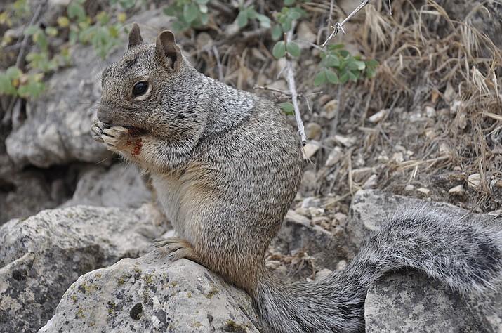 Rock squirrel (Spermophilus variegatus) in Grand Canyon National Park (Jarek Tuszynski, via Creative Commons 4.0 https://bit.ly/2XmudwK /Courtesy)