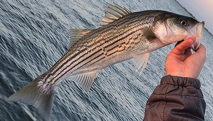Local anglers Gary Siegfried, Del Whittington and Matthew Whitmarsh  caught 123 striped bass in less than four hours during a recent outing on Lake Mead. (Photo bySFOfishing, cc-by-sa-4.0, https://bit.ly/3c7NRlA)